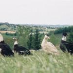 Canards au champ