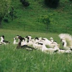 l'élevage de canard