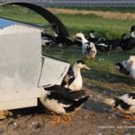 Mangeoire des canards